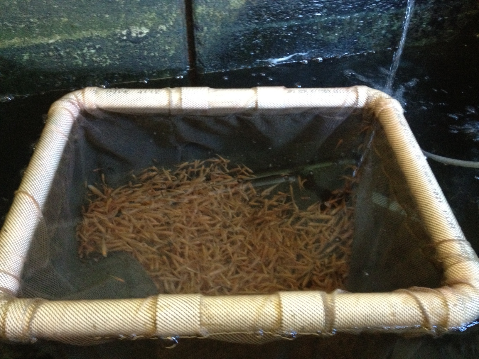 minnows (rosey reds) in the fish house