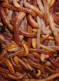 red worm 2